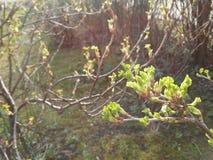 La grosella espinosa en primavera temprana Fotos de archivo