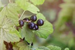 La grosella negra crece en una rama en el jardín, bayas del verano, imágenes de archivo libres de regalías