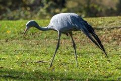 La gru blu, paradisea di gru, ? un uccello pericoloso fotografie stock libere da diritti