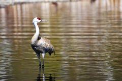 La gru di Sandhill è di nuovo al lago Burnaby fotografie stock libere da diritti