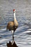 La gru di Sandhill è di nuovo al lago Burnaby fotografia stock