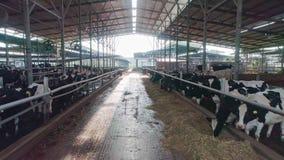La gru ha sparato dalle mucche che mangiano su una grande azienda lattiera al paesaggio verde stock footage