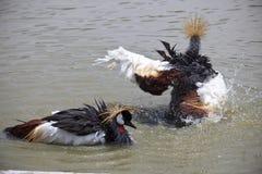 La grue grise de couronne prennent un bain dans la piscine d'eau Image libre de droits