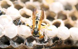 La guêpe dans le nid prend soin de la progéniture protège et alimente les larves images libres de droits