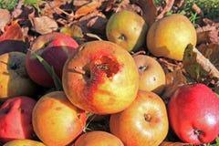 La guêpe et la pomme Photo stock