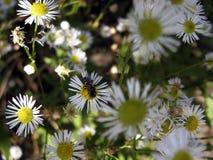 La guêpe regales la camomille de nectar Images libres de droits