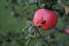 La guêpe sur la pomme photographie stock libre de droits