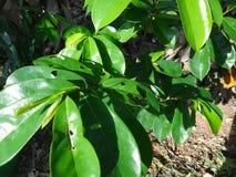 La guanábana verde fresca se va en un árbol de guanábana Imágenes de archivo libres de regalías