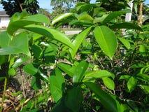 La guanábana verde fresca se va en un árbol de guanábana Fotos de archivo libres de regalías