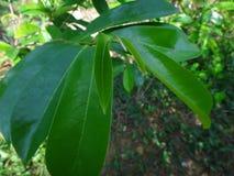 La guanábana verde fresca se va en un árbol de guanábana Fotos de archivo
