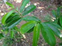 La guanábana verde fresca se va en un árbol de guanábana Foto de archivo libre de regalías