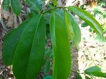La guanábana verde fresca se va en un árbol de guanábana Foto de archivo
