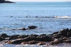La guarnizione anellata si trova sulla scogliera rocciosa dalla penisola di Kamchatka fotografia stock libera da diritti