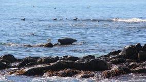 La guarnizione anellata si trova sulla scogliera rocciosa dalla penisola di Kamchatka fotografie stock