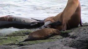 La guarnizione della famiglia con il piccolo bambino si rilassa sulla spiaggia vicino all'acqua delle isole Galapagos stock footage
