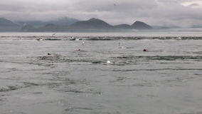 La guarnizione di pelliccia si tuffa il mulinello dell'acqua dell'oceano sulla costa del fondo nell'Alaska archivi video