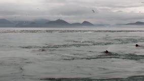 La guarnizione di pelliccia si tuffa il mulinello dell'acqua dell'oceano sulla costa del fondo nell'Alaska stock footage