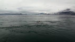 La guarnizione di pelliccia si tuffa l'acqua dell'oceano Pacifico sulla costa del fondo nell'Alaska archivi video