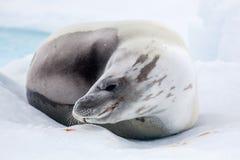 La guarnizione grigia ha un resto sulla neve, Antartide immagini stock