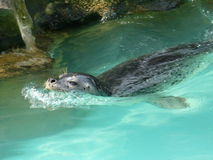 La guarnizione macchiata giovani nuota in acqua blu Fotografia Stock