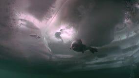 La guarnizione nuota sotto l'acqua blu fredda pulita in ghiaccio del lago Baikal in Siberia, Russia video d archivio
