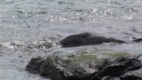 La guarnizione si rilassa in acqua vicino alla spiaggia Galapagos video d archivio