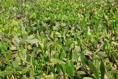 La Guatiza Nopal cactus chumbera garden field Stock Image