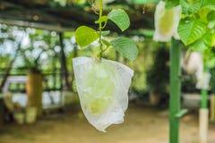 La guayaba orgánica crece en una bolsa de plástico para proteger contra parásitos imagen de archivo libre de regalías