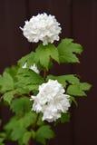 La guelder-rosa floreciente de Buldenezh - el Viburnum L de la esfera de la nieve Contra un fondo oscuro Imagen de archivo