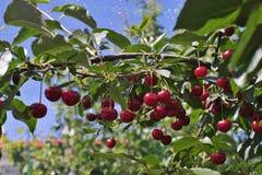 La guinda o agria cerezas riped en el palillo del cerezo con las hojas, a tiempo de la cosecha en el verano en la huerta foto de archivo