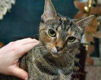 La haba presenta el animal doméstico Foto de archivo libre de regalías