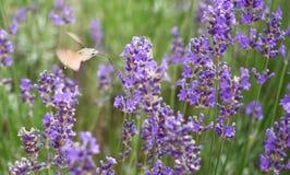 La halcón-polilla del colibrí está chupando el néctar fotos de archivo