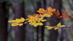La haya hermosa se va en un bosque del otoño almacen de metraje de vídeo
