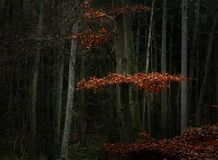 La haya roja se va entre los árboles y los troncos desnudos en un bosque oscuro, paisaje estacional de la naturaleza con el espac foto de archivo libre de regalías