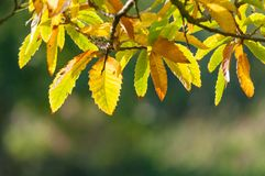 La haya viva deja detrás el Lit de Autumn Sunlight imagen de archivo