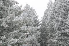 La helada cubrió árboles de pino imagenes de archivo