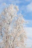 La helada cubrió el árbol de abedul Foto de archivo libre de regalías