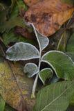 La helada en las hojas Imágenes de archivo libres de regalías