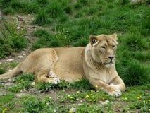 La hembra asiática de la leona Foto de archivo libre de regalías