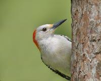 La hembra Rojo-hinchó la pulsación de corriente en un árbol de pino rojo foto de archivo