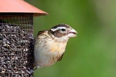 La hembra se levantó-breasted pájaro en el alimentador Foto de archivo libre de regalías
