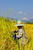 La hembra trabaja el arroz de la cosecha en campo Imagen de archivo