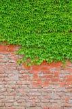 La hiedra cubrió la pared Fotografía de archivo