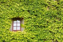 La hiedra cubrió la pared y la ventana Imagen de archivo libre de regalías