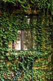 La hiedra cubrió la ventana Fotografía de archivo