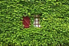 La hiedra cubrió la ventana y el obturador Fotos de archivo libres de regalías