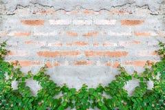 La hiedra del follaje ha subido para arriba la pared de ladrillo antigua imagenes de archivo