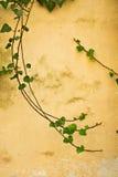 La hiedra remolina en una pared amarilla antigua Foto de archivo