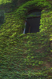 La hiedra verde cubrió la pared   Imagenes de archivo