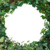 La hiedra verde hojea maqueta Fondo blanco fotos de archivo